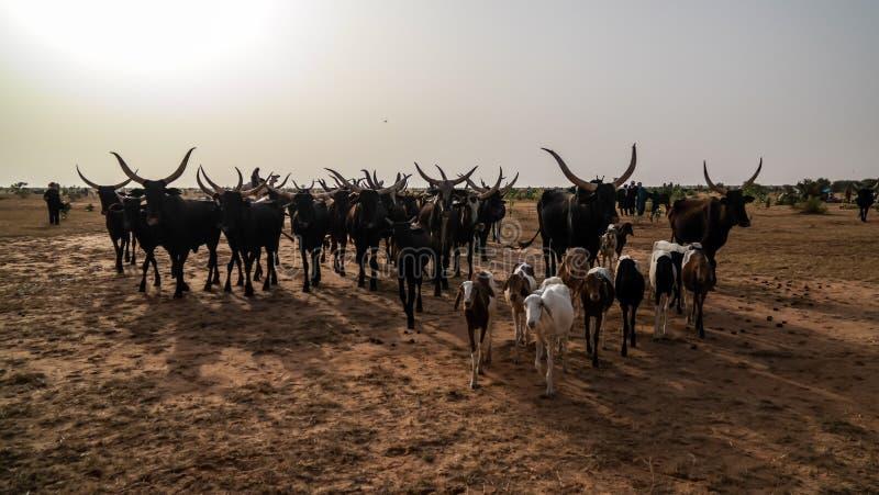 Portrait of ankole-watusi bighorned bull at InGall village, Agadez, Niger royalty free stock image
