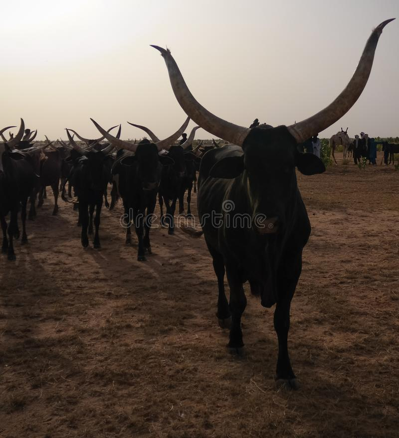 Portrait of ankole-watusi bighorned bull at InGall village, Agadez, Niger royalty free stock photography
