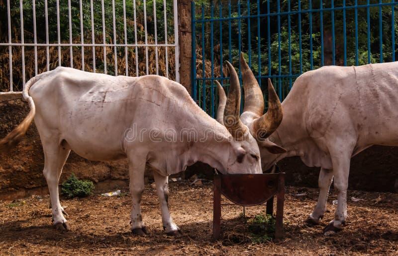 Portrait of ankole-watusi bighorned bull, Niamey, Niger stock images