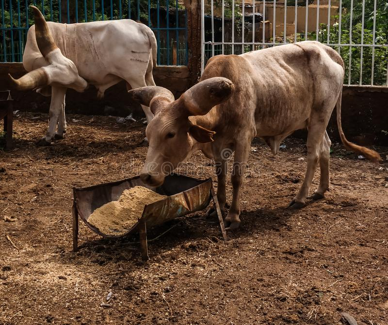 Portrait of ankole-watusi bighorned bull, Niamey, Niger stock photos