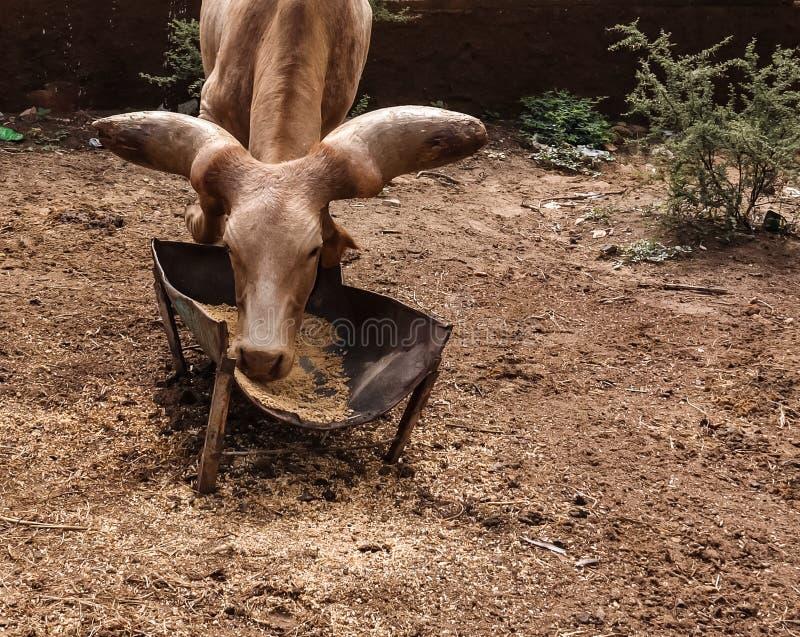 Portrait of ankole-watusi bighorned bull, Niamey, Niger royalty free stock photography