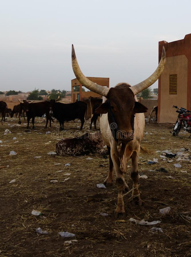 Portrait of ankole-watusi bighorned bull at Zinder cattle market, Niger stock photo