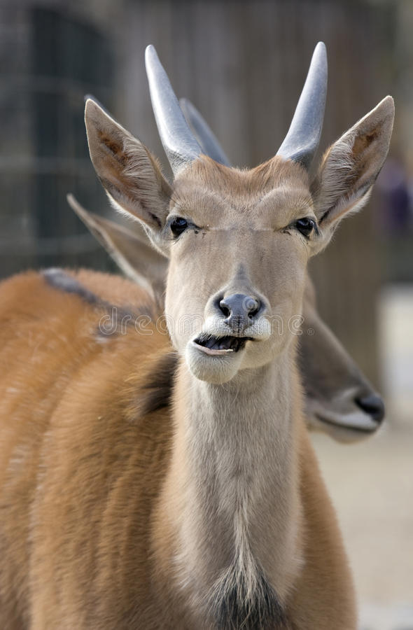 Download Portrait of Antelope stock image. Image of ungulate, standing - 13867871