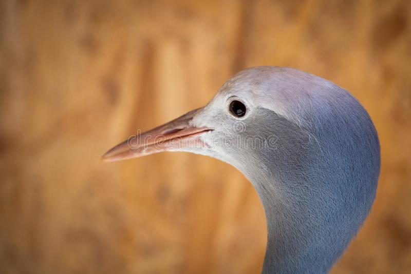 Portrait of Anthropoides paradise or Blue crane, also known a the Stanley or Paradise crane stock images