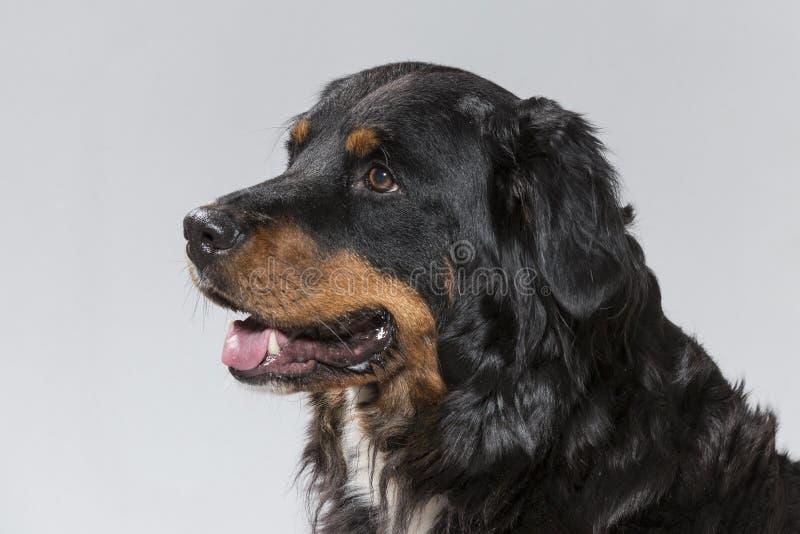 Portrait of an Appenzell Sennenhund stock photos