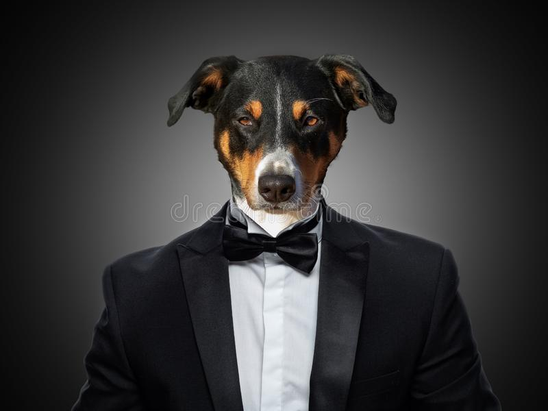 Portrait of a Appenzeller Mountain Dog in a business suit stock photography