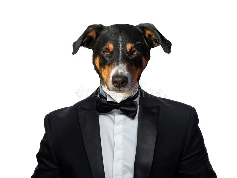 Portrait of Dogs in a business suit royalty free stock photo