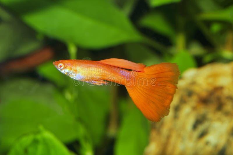 Portrait of aquarium fish - guppy Poecilia reticulata in aquarium stock photo