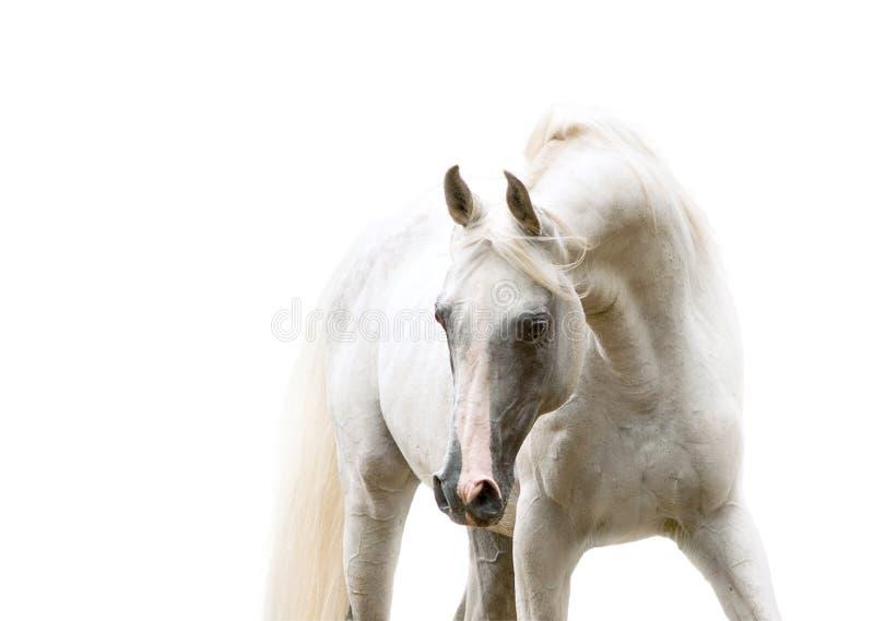 Portrait Arabe blanc de cheval sur le fond blanc images libres de droits