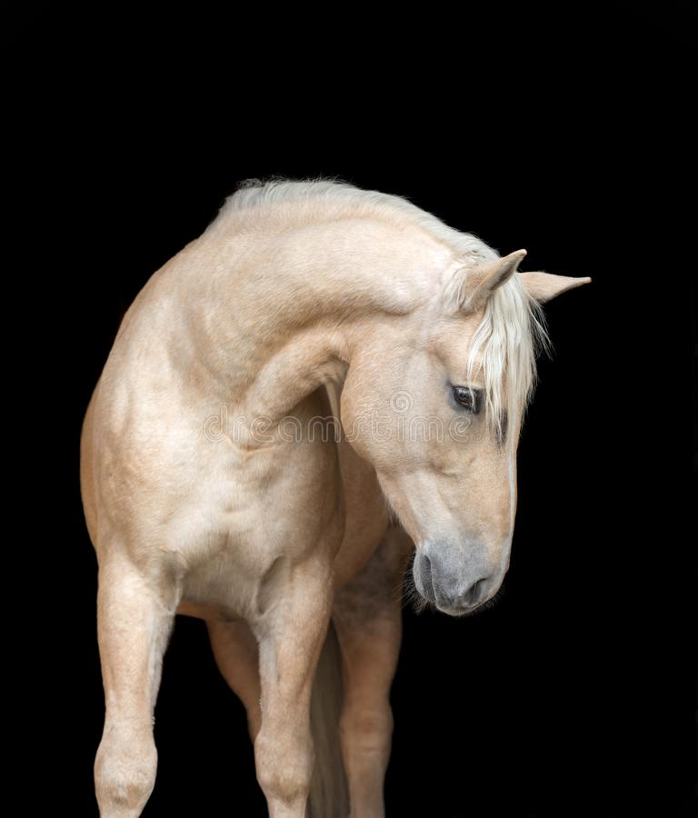 Portrait of an Arabian horse on black background royalty free stock photography