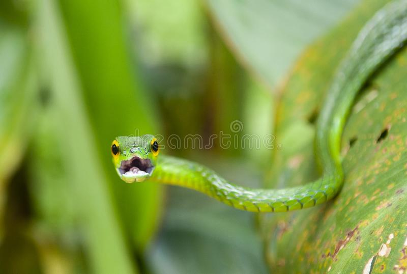 Green Vine Snake, Costa Rica. Portrait of the arboreal Green Vine Snake Oxybelis Fulgidus with open mouth inside Tortuguero national park, Costa Rica, Central stock photo