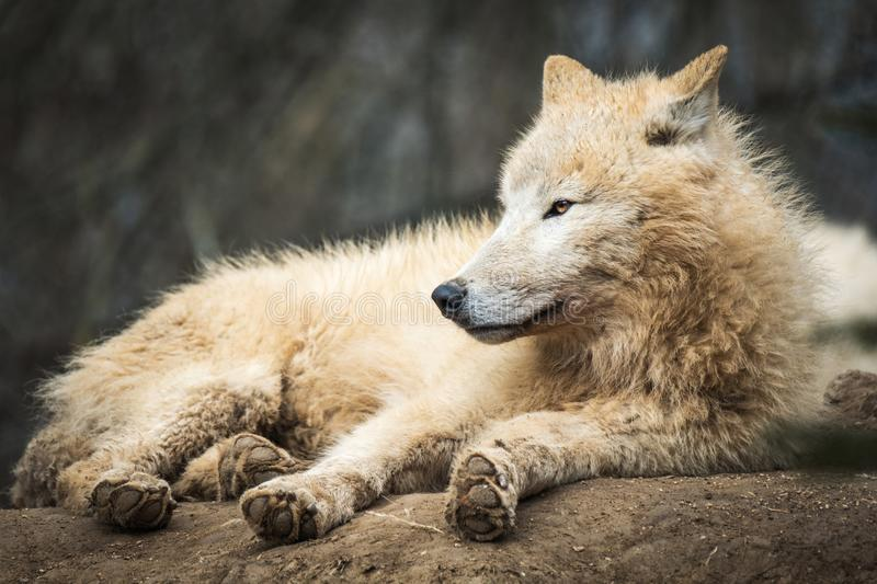 Arctic Wolf Canis lupus arctos royalty free stock image