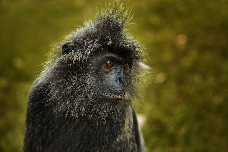 Portrait argenté sauvage de singe de feuille images stock