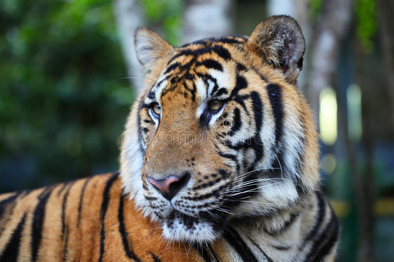 Portrait of Asian tiger. Outdoors close up stock image