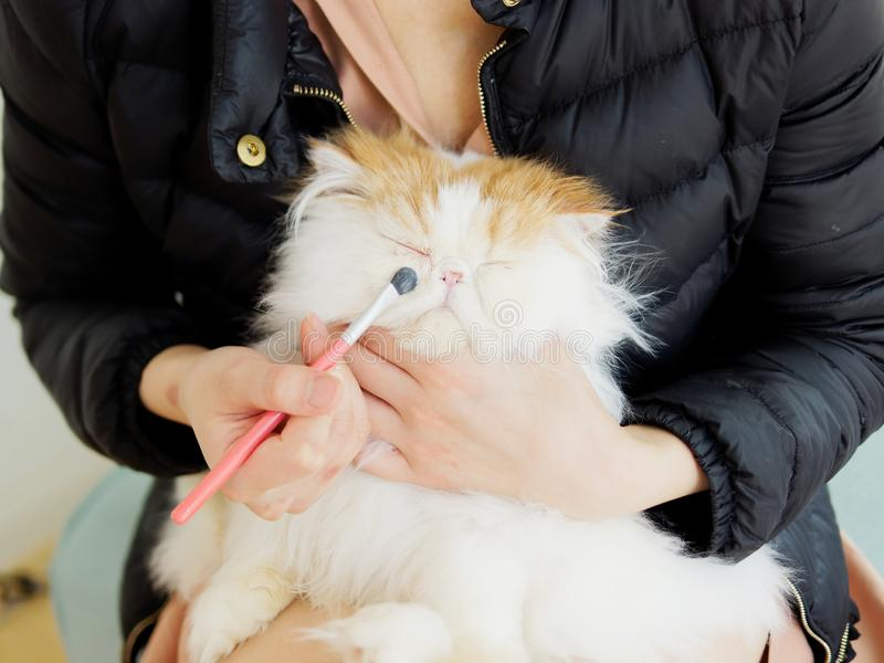 Portrait of asian woman using brush to clean the tear stains on a fluffy exotic long hair cat which sits in her arms. stock photography