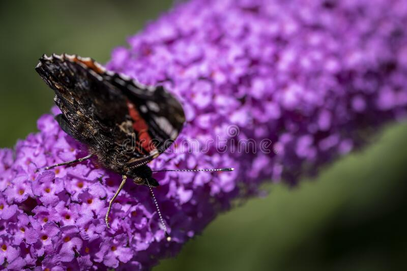 A portrait of a atalanta butterfly with its wings closed on a butterfly bush branch covered with purple flowers. The butterfly is scientifically called vanessa royalty free stock photo