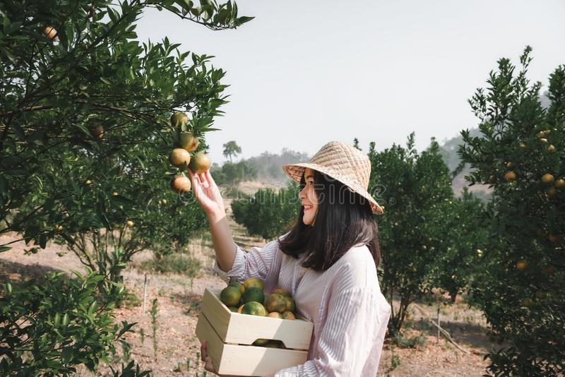 Agriculturist Farmer Woman is Harvest Picking Orange in Organic Farm, Cheerful Woman in Happiness Emotion While Reaping Oranges in stock images