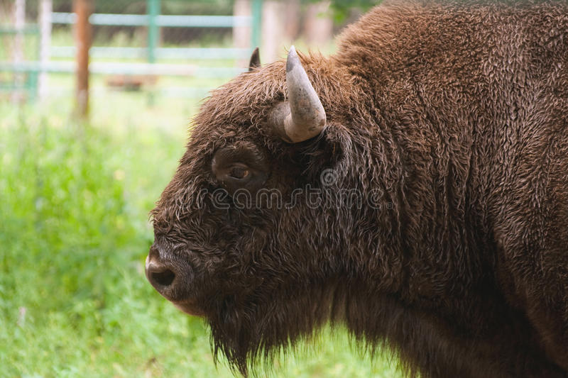Portrait of the aurochs royalty free stock photo