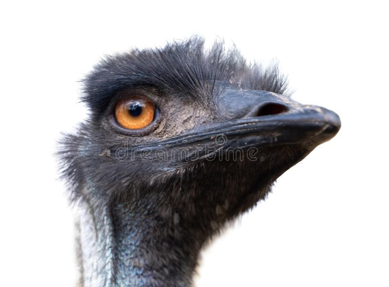 Portrait of Australian Emu bird Dromaius novaehollandiae royalty free stock image