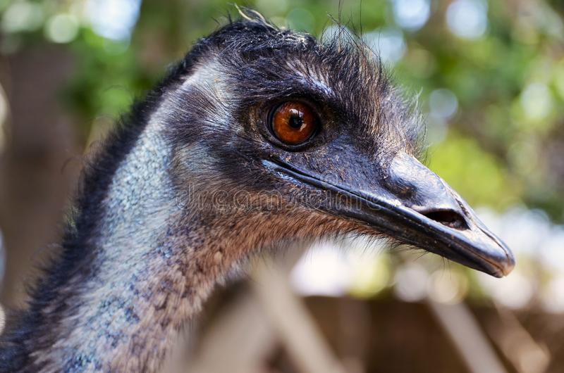 Portrait of Australian Emu bird Dromaius novaehollandiae.View of an Emu`s head and neck close up. royalty free stock photos
