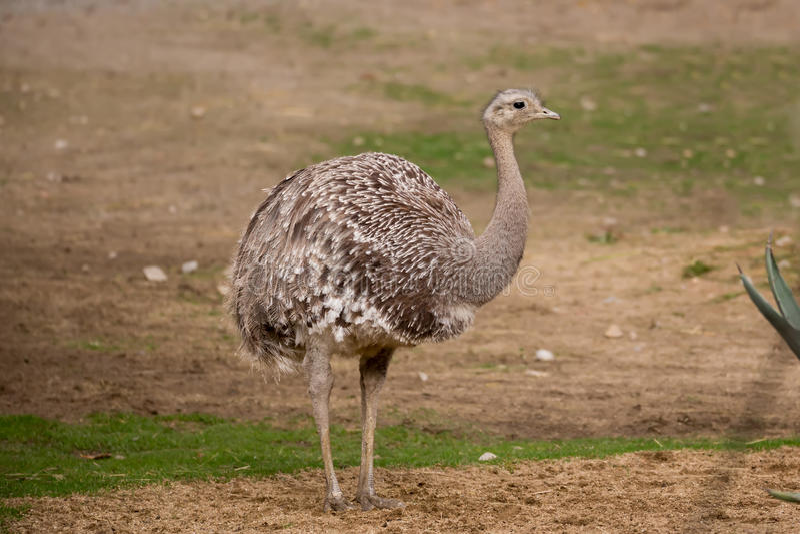 Portrait of Australian Emu (Dromaius novaehollandiae) stock images
