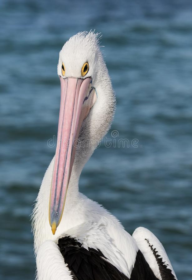 Portrait of Australian Pelican Pelecanus conspicillatus Australia royalty free stock photo