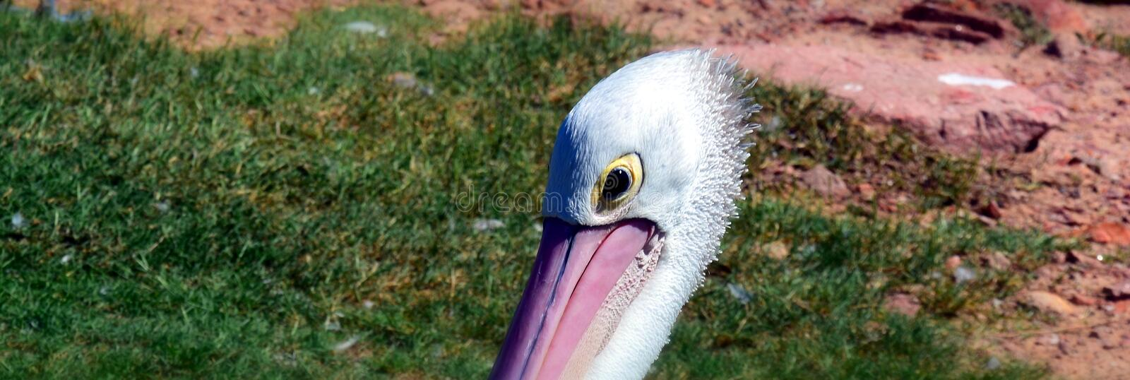 Portrait of an Australian Pelican stock photography
