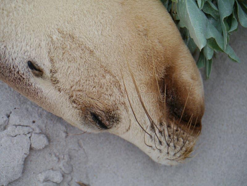 Download Portrait Of An Australian Sea Lion Stock Image - Image: 35804797