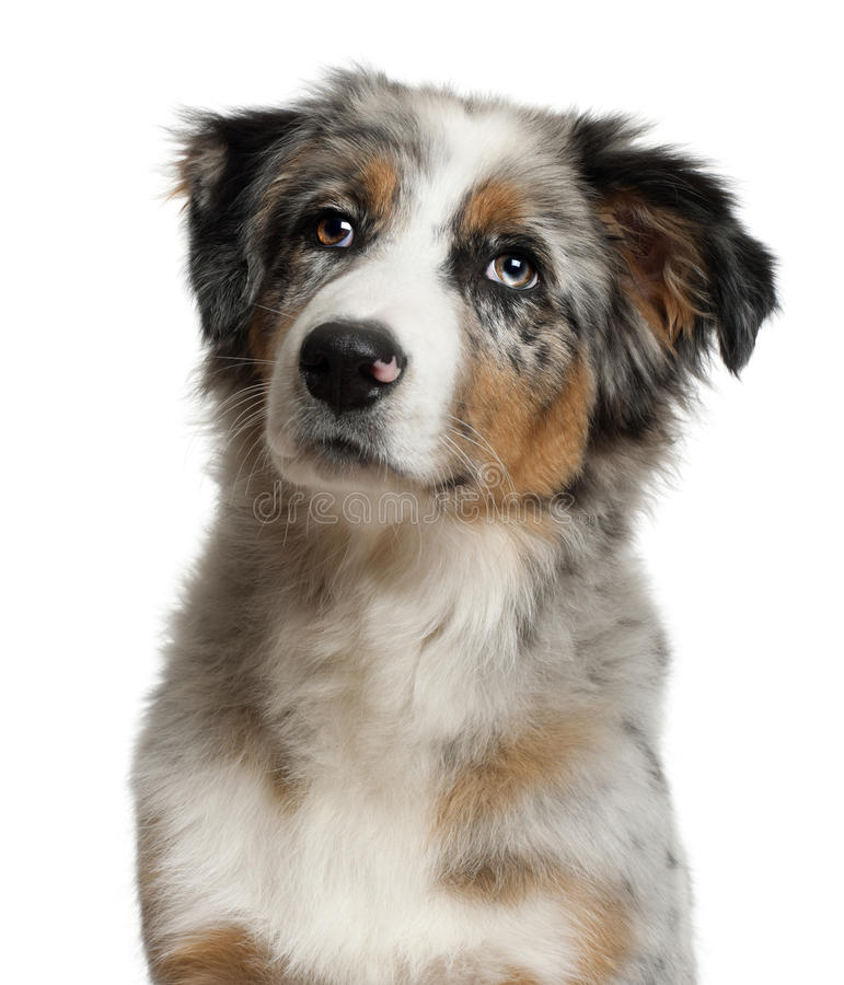 Portrait of Australian Shepherd royalty free stock images