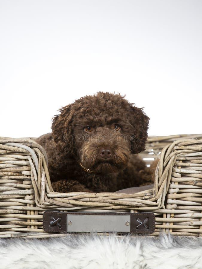Portrait australien de chiot de labradoodle photographie stock