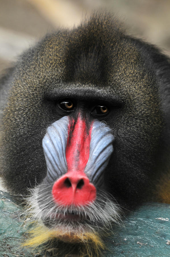 Portrait of Baboon royalty free stock images