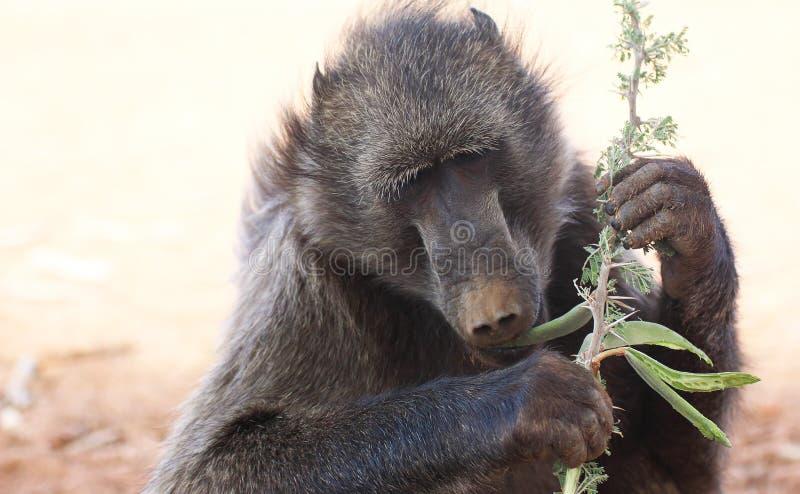 Eating baboon stock photos