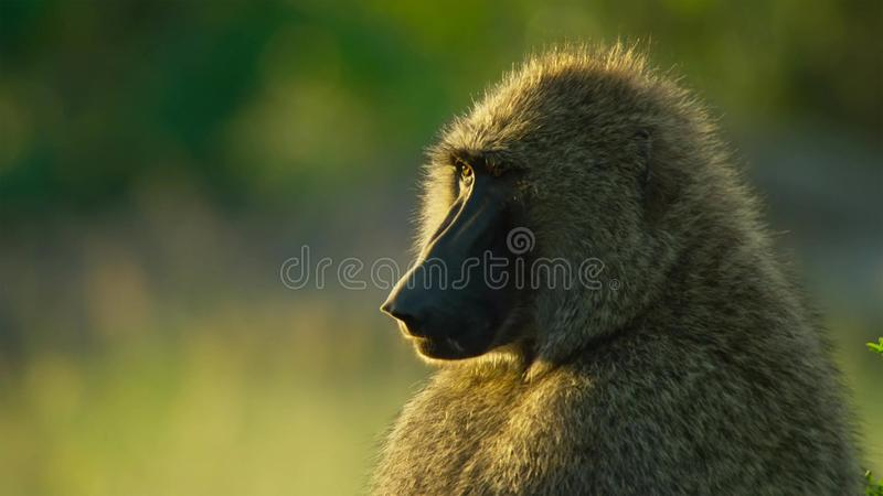Portrait of Baboon is sitting, Savanna, Africa royalty free stock photo