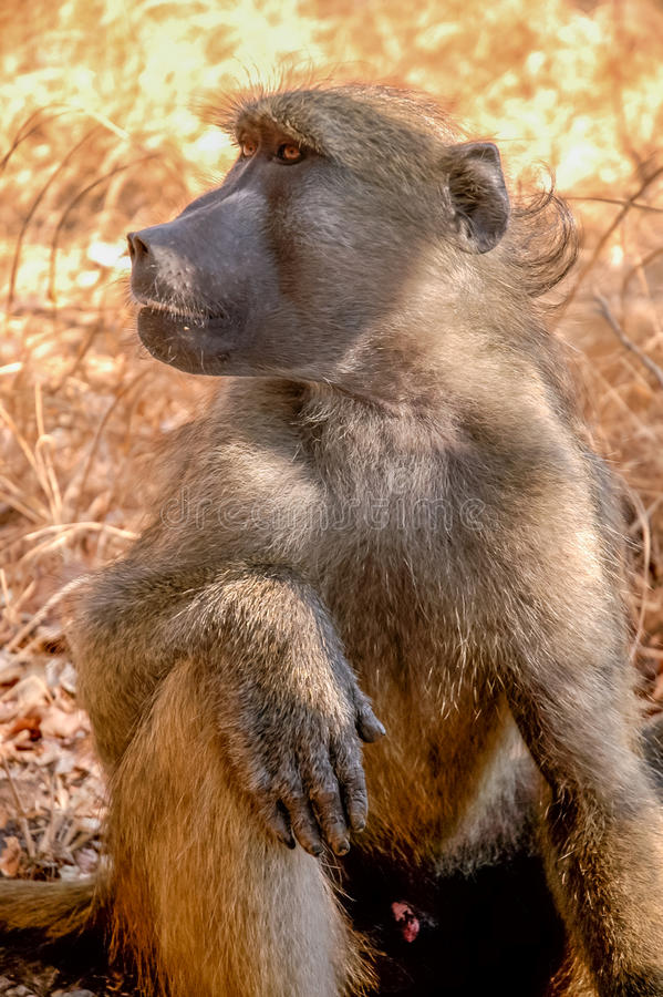 Portrait Baboon royalty free stock photos
