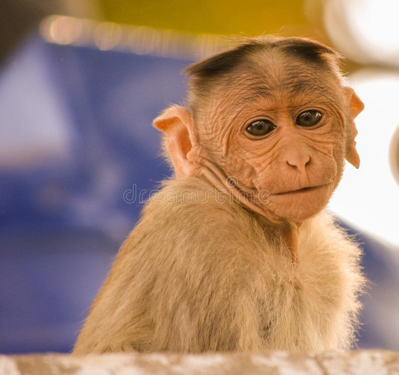Portrait of baby bonnet macaque monkey royalty free stock images