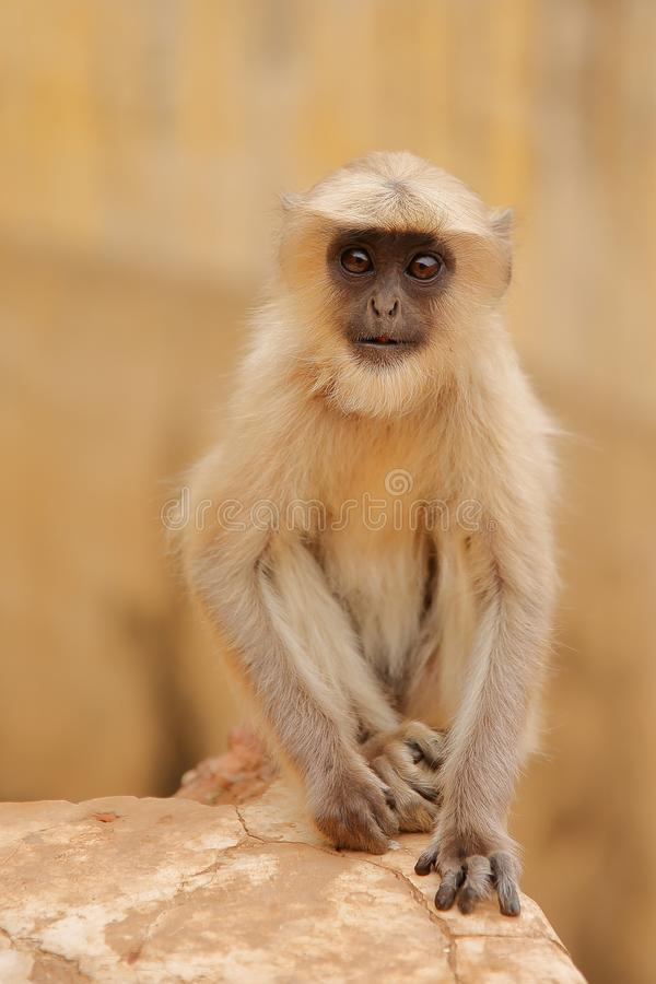 Portrait of a baby Gray Langur near Amber fort, Rajasthan, India. Portrait of a baby Gray Langur near Amber fort royalty free stock photo