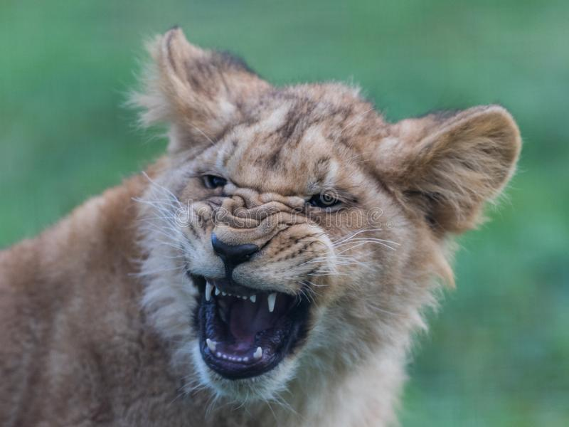 Portrait of a Baby Lion in the meadow. France. Very close stock image