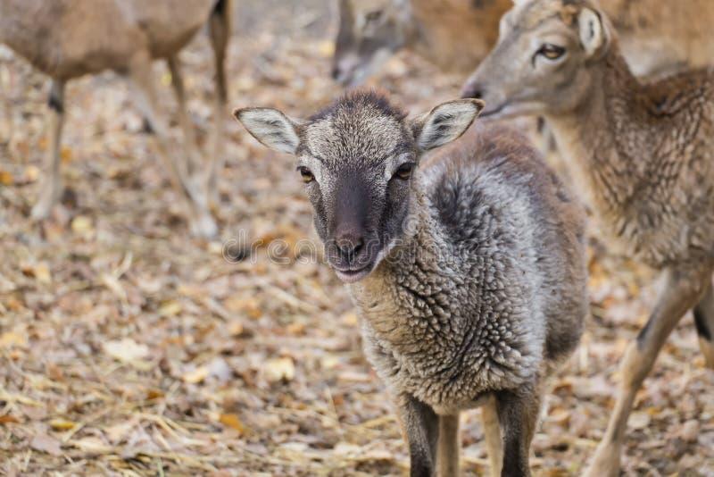 Portrait of a baby mouflon sheep royalty free stock image
