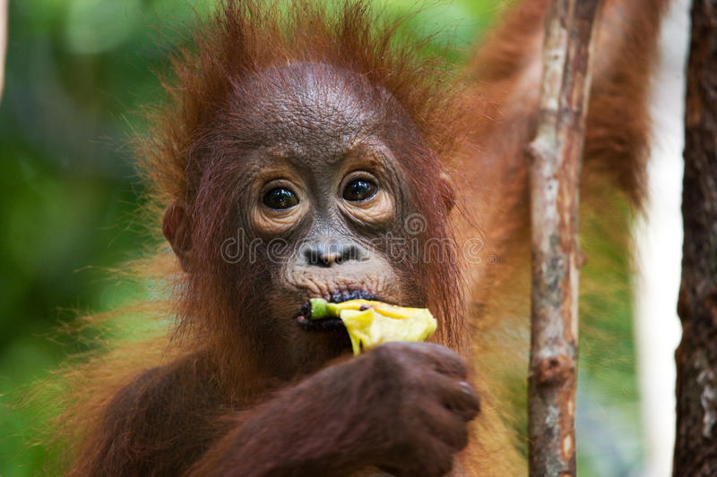 Portrait of a baby orangutan. Close-up. Indonesia. The island of Kalimantan (Borneo). An excellent illustration stock images