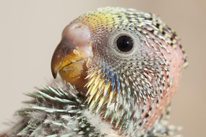 Portrait of a baby parrot stock images