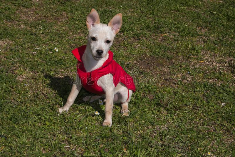 Portrait of baby pinscher chihuahua dog mix with coat in the garden stock images