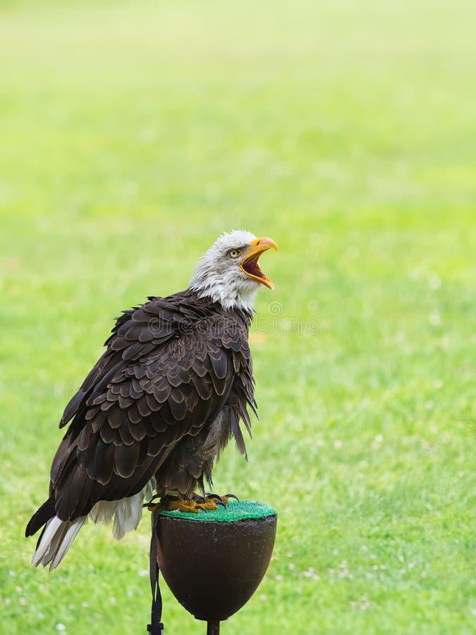 Download Portrait of a bald eagle stock image. Image of eagle - 26747937