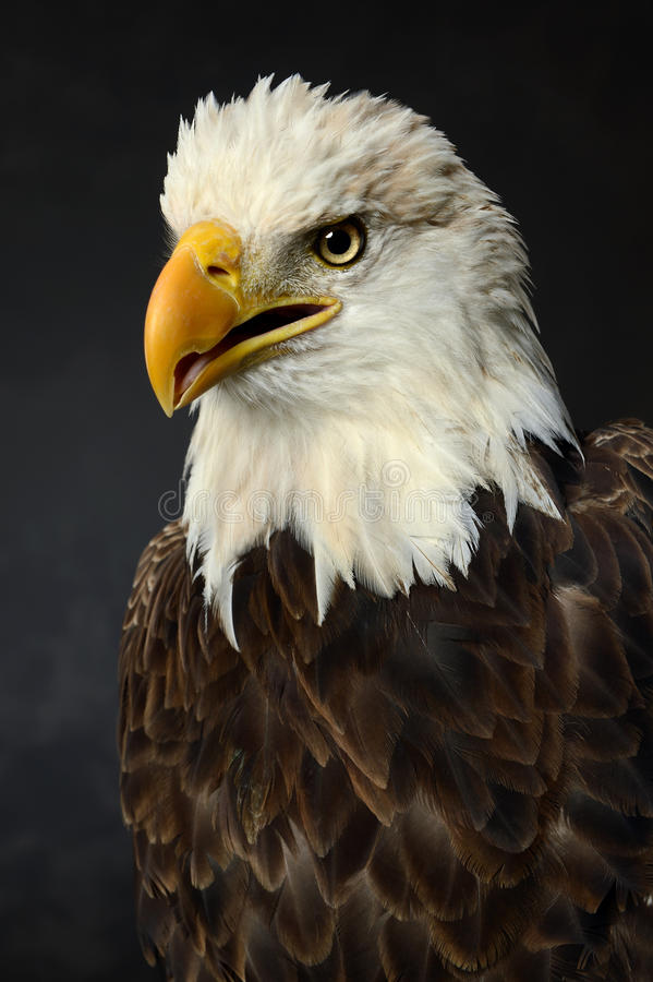 Portrait of Bald Eagle stock photos