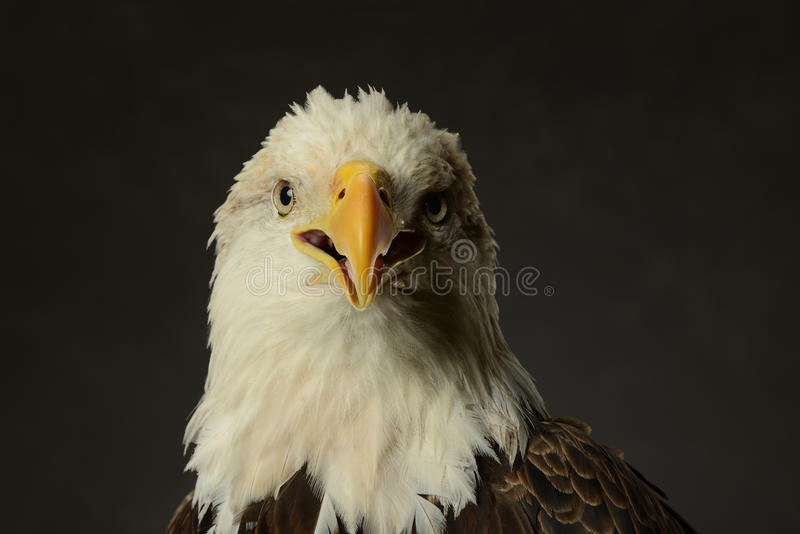 Download Portrait of Bald Eagle stock image. Image of wild, closeup - 26965133