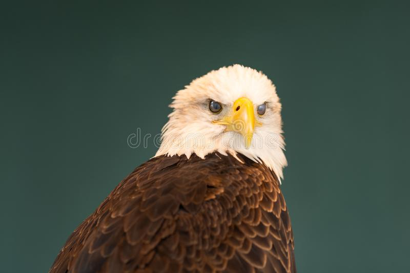 Portrait of a Bald Eagle Blinking. Showing the inner eyelid stock image