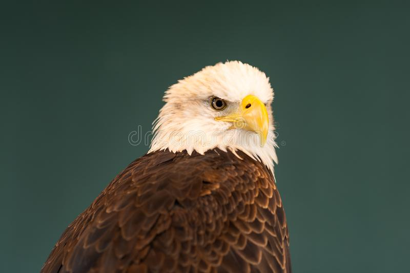 Portrait of a Bald Eagle. A brown bird of prey with white head, yellow bill, symbol of freedom of the United States of America royalty free stock photo