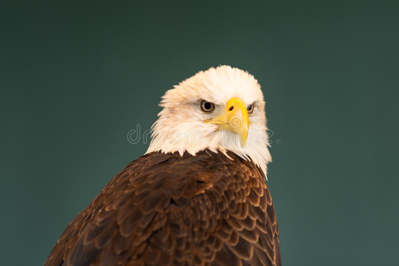 Portrait of a Bald Eagle. A brown bird of prey with white head, yellow bill, symbol of freedom of the United States of America stock photos