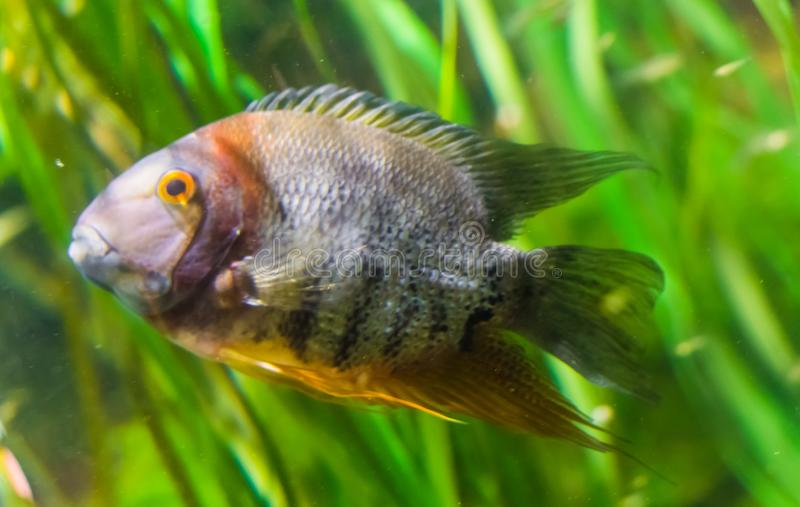 Portrait of a banded cichlid, tropical fish from the orinoco river of south America, popular aquarium pet stock photo