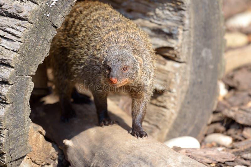 Portrait of Banded mongoose - Mungos mungo on the log royalty free stock image