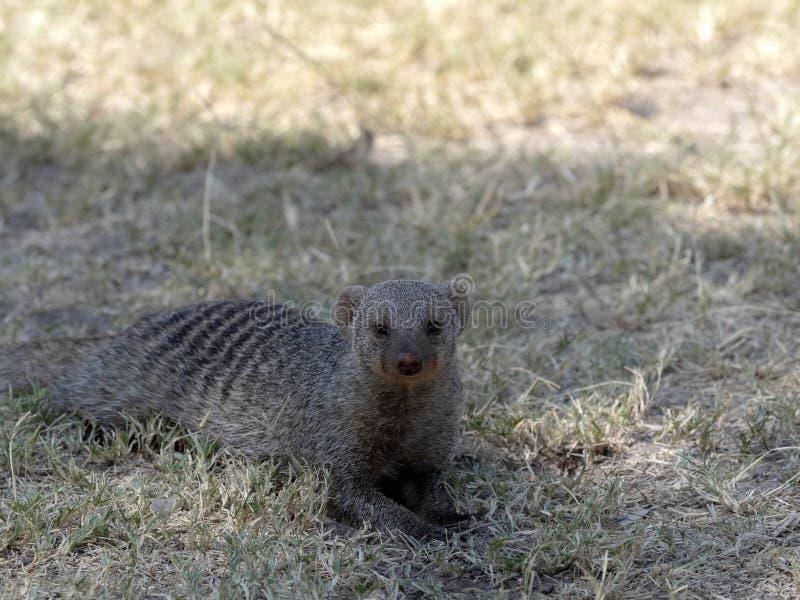 Portrait of Banded Mongoose, Mungos Mungo, Namibia royalty free stock images